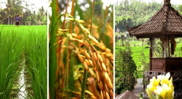 interesting things to know, Balinese culture, photogallery, Indonesia, travel, blog, post, destinations, location, why, most, world, how, says best, rice, paddy